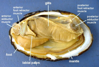 General Info - Endangered Freshwater Mussels of Minnesota